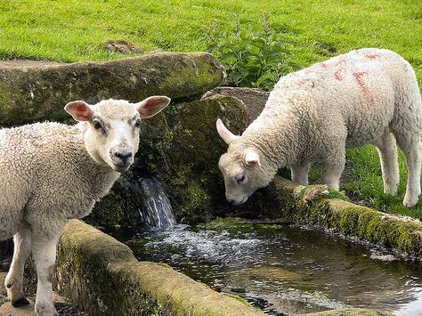 Lambs Drinking From Well